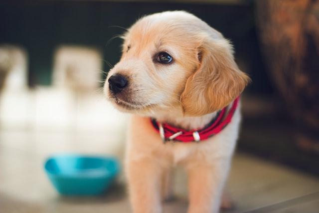 犬がマカデミアンナッツ中毒を起こす中毒量