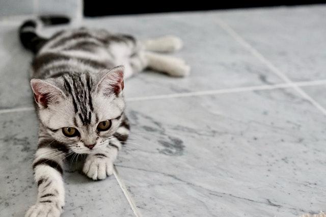 猫のノミ感染症の臨床症状