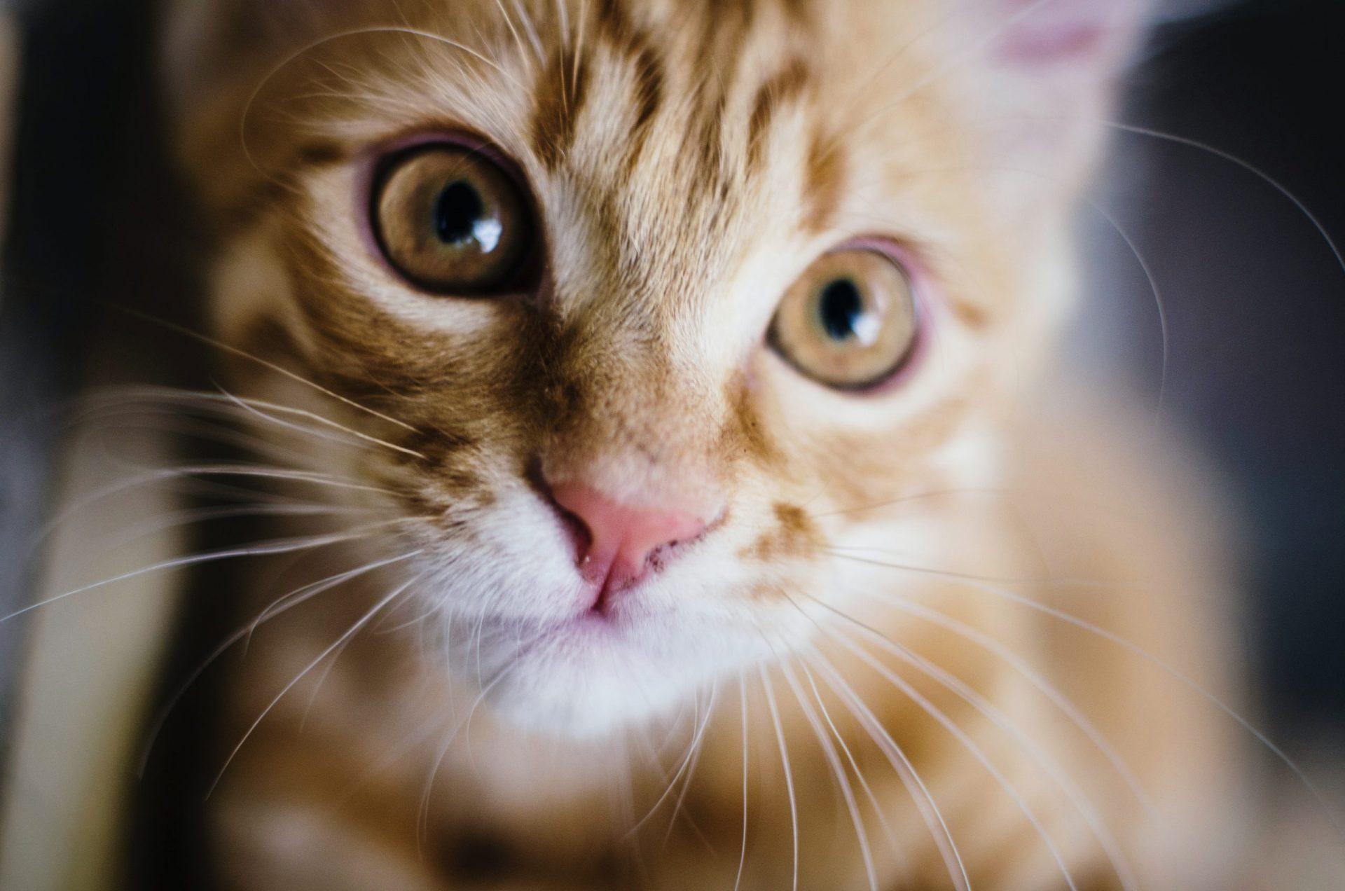 猫のノミ感染症の宿主