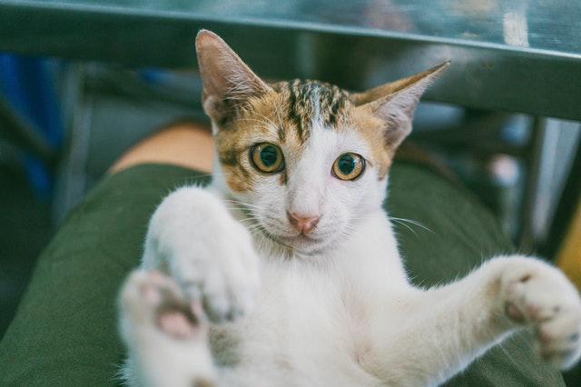猫のノミ感染症の診断