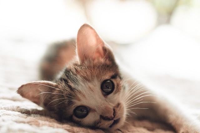 猫のノミ感染症の治療