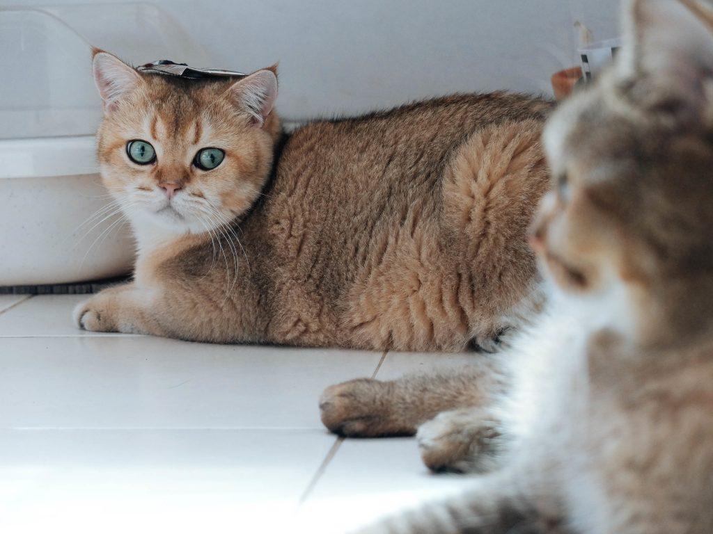 獣医師解説!猫伝染性腹膜炎(FIP)〜原因、症状、治療法(MUTIAN:ムチアン)〜