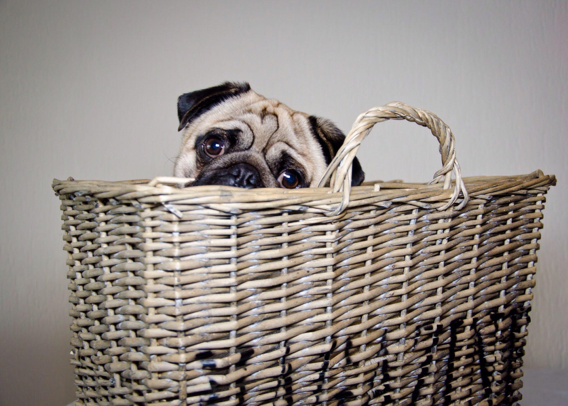 犬のジステンパーの隔離と消毒