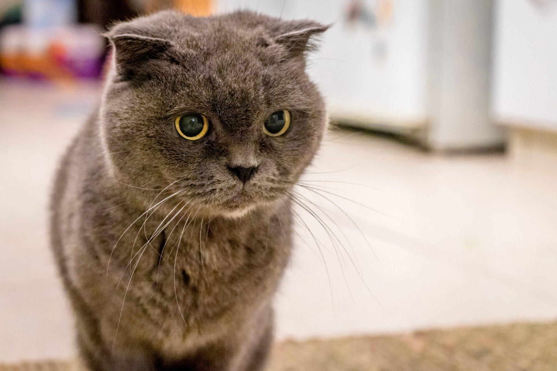 猫の皮膚糸状菌症の診断