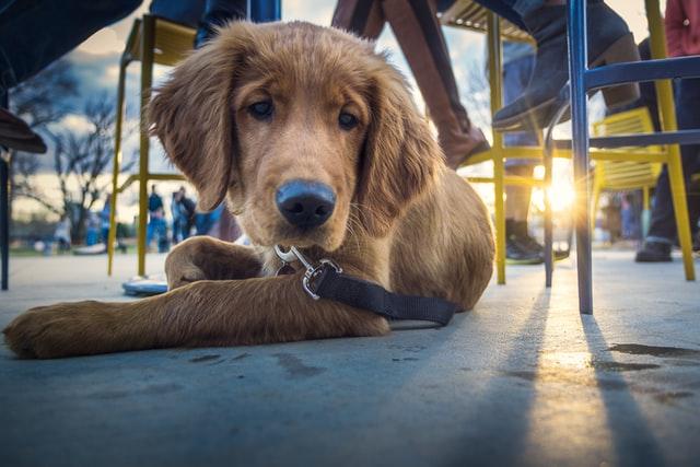 犬の糖尿病の食事と生活