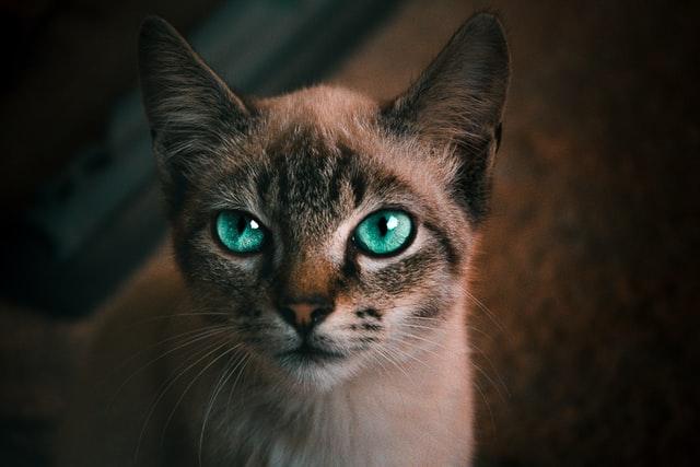猫がマカデミアンナッツを食べてしまった時の中毒の症状