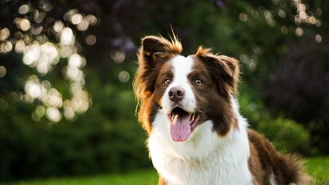 犬がアスピリン中毒を起こす中毒量