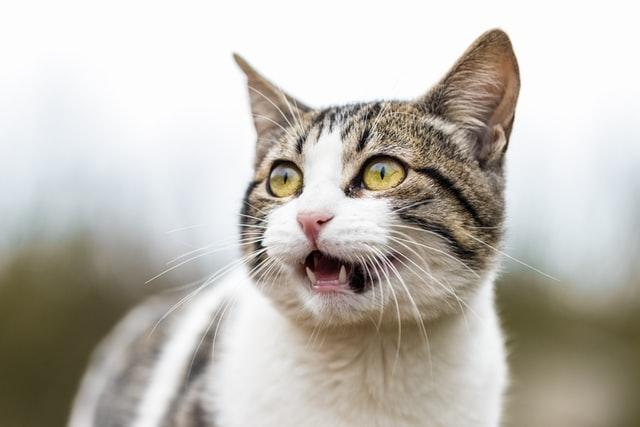猫がマカデミアンナッツ中毒を起こした時の予後