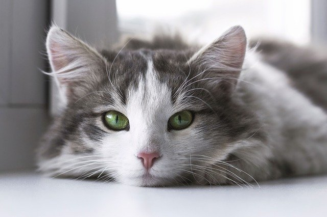 猫のマンソン裂頭条虫症の治療