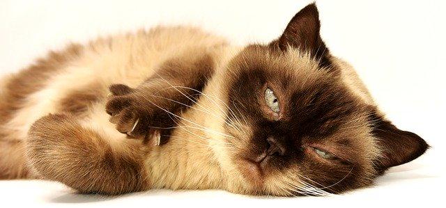 予防しても付く?ネコのノミ予防薬の効果!