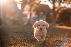 犬がニンニク中毒を起こす中毒量