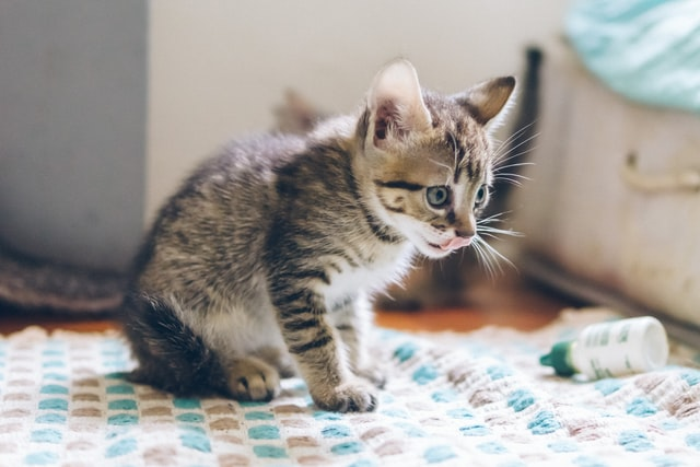 猫がマカデミアンナッツ中毒を起こした時の治療