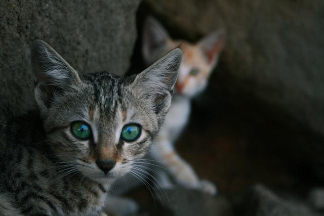 猫がマカデミアンナッツ中毒を起こす中毒量は