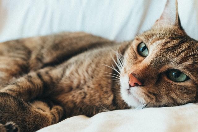 猫がマカデミアンナッツを食べてしまった時の応急処置と対処法