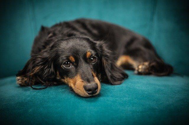 犬のジステンパーの感染経路