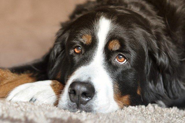 犬の胃拡張・胃捻転症候群の治療法(外科的)