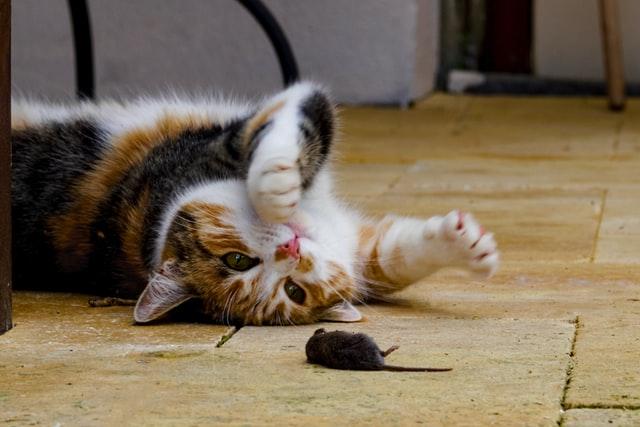 猫がロキソニン中毒を起こした時の治療