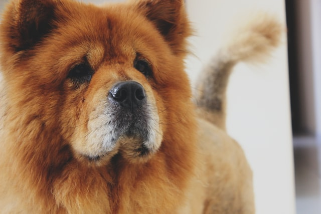 犬の甲状腺機能低下症の臨床症状