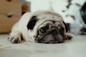 犬がエチレングリコールを食べてしまった時の中毒の症状