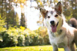 犬がキシリトールを食べてしまった時の応急処置と対処法