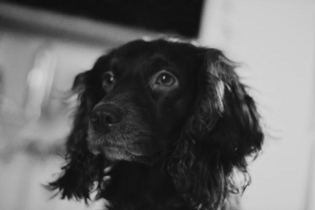 犬のコクシジウム症の感染の特徴
