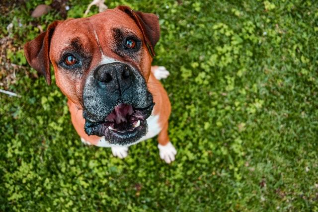 犬がアンフェタミンを食べてしまった時の応急処置と対処法