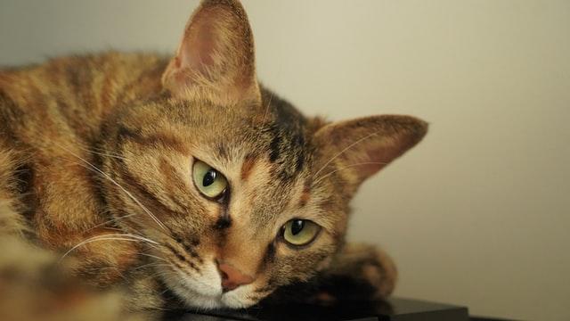 猫がアンフェタミン中毒を起こした時の治療