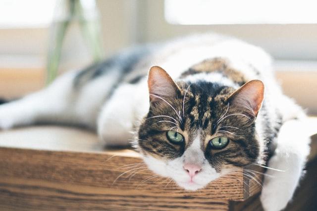 猫がアボカドを食べてしまった時に起こる病態