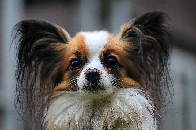 犬がタバコを食べてしまい、ニコチン中毒を起こした時の対処