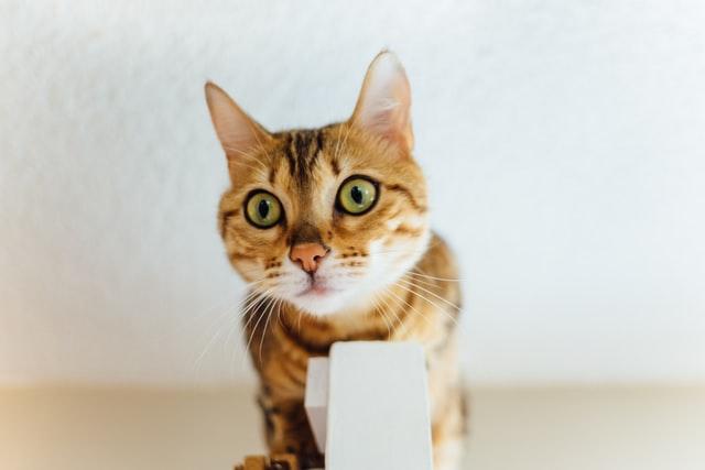 猫がアンフェタミンを食べてしまった時に起こる病態