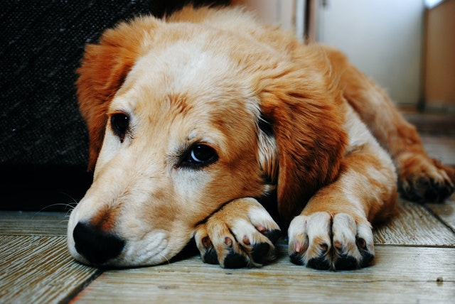 犬の伝染性肝炎の発症機序