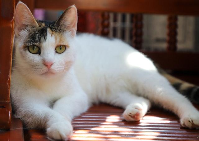 猫の皮膚糸状菌症の臨床症状