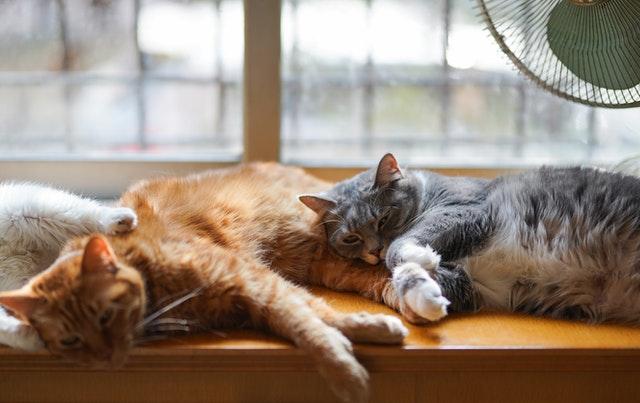 猫伝染性腹膜炎の診断