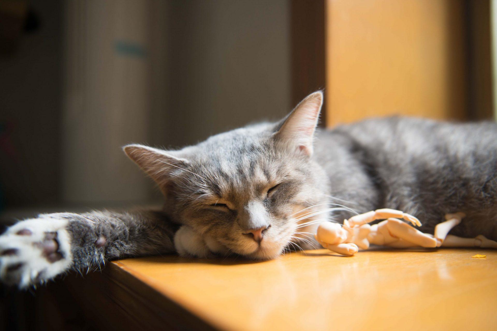 猫の皮膚糸状菌症の発症機序