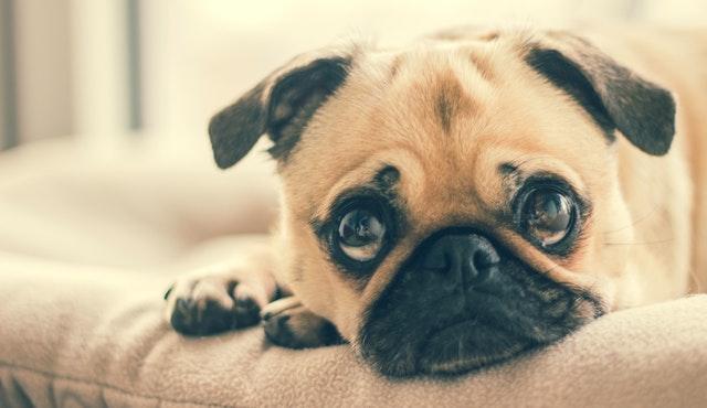 獣医師解説!犬のジステンパー感染症〜症状、原因、治療法まで〜