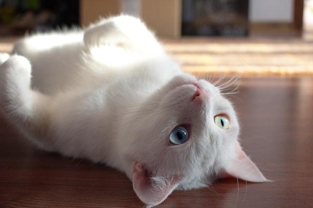 猫のミミヒゼンダ二感染症の診断