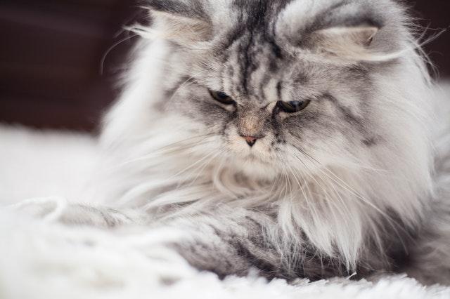 猫の猫胃虫、毛細線虫の治療