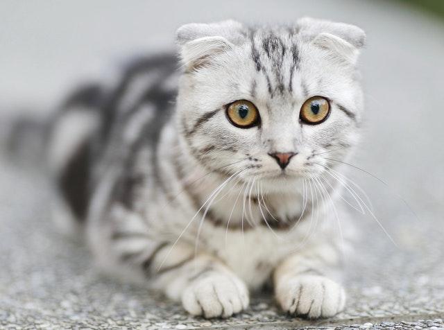 猫の皮膚糸状菌症の感染の特徴