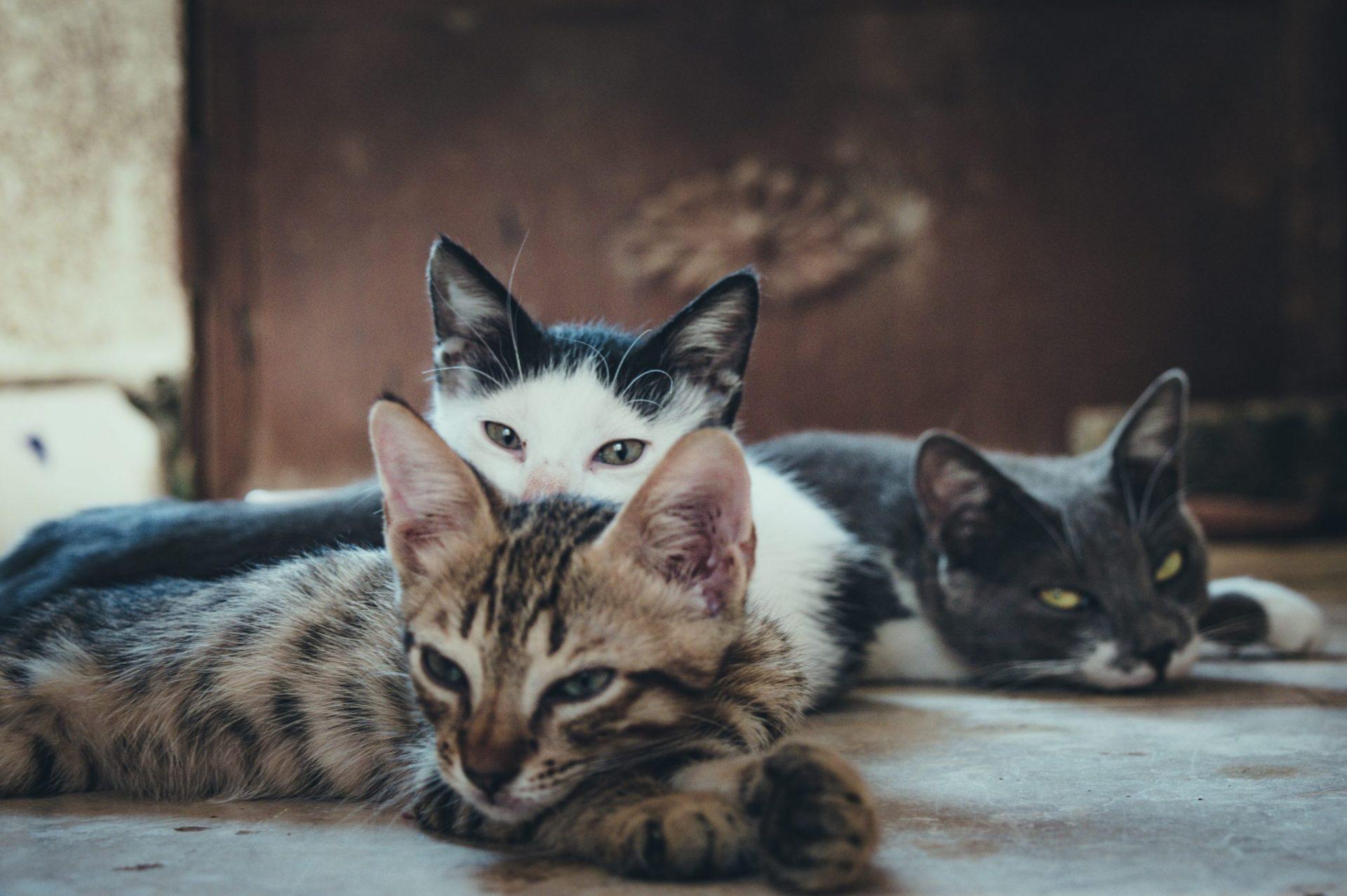 猫の皮膚糸状菌症の感染経路
