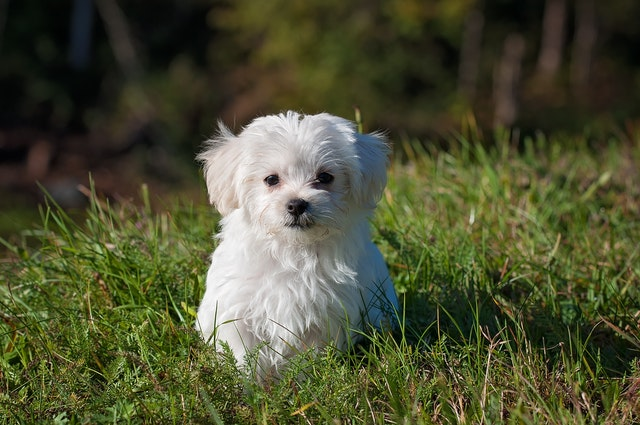犬の伝染性肝炎の臨床症状