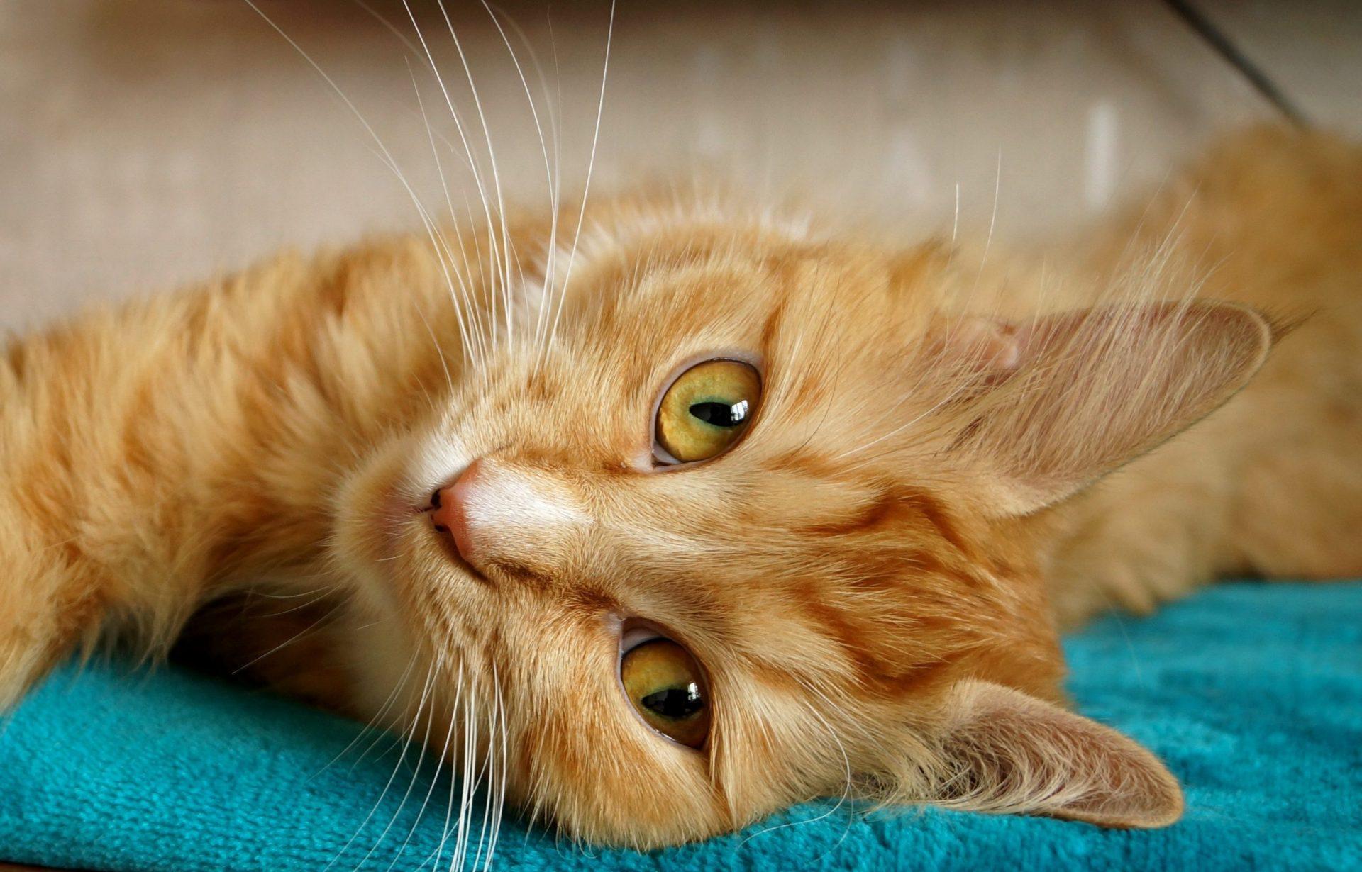 猫がチョコレートを食べてしまった時の応急処置と対処法