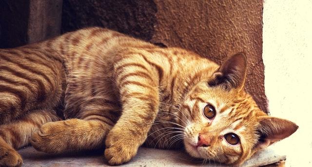 猫がチョコレート中毒を起こした時の治療