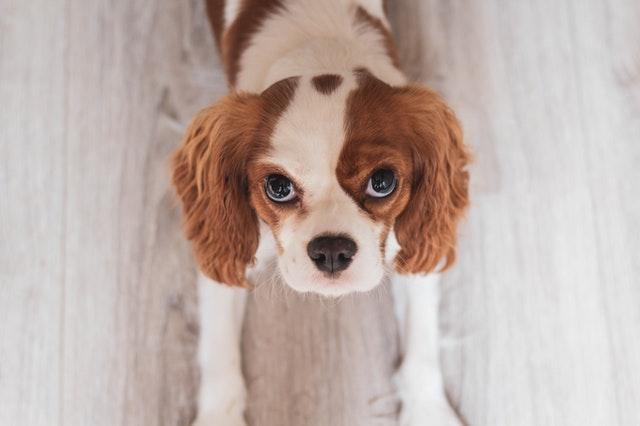 犬パラインフルエンザウイルスの臨床症状