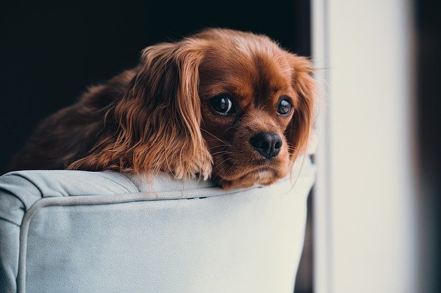 獣医師解説!犬のパラインフルエンザウイルス感染症〜原因、症状、治療法〜