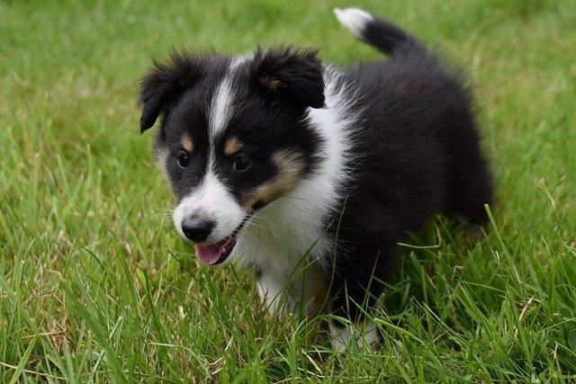 犬における重症熱性血小板減少症候群 (SFTS)ウイルス感染