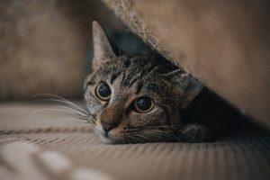 猫がアセトアミノフェン中毒を起こした時の治療