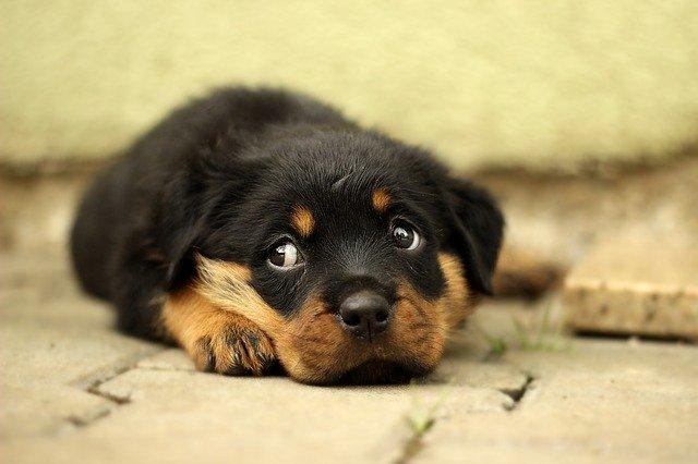 獣医師解説!犬の伝染性喉頭気管炎(アデノウイルス)〜原因、症状、治療法〜