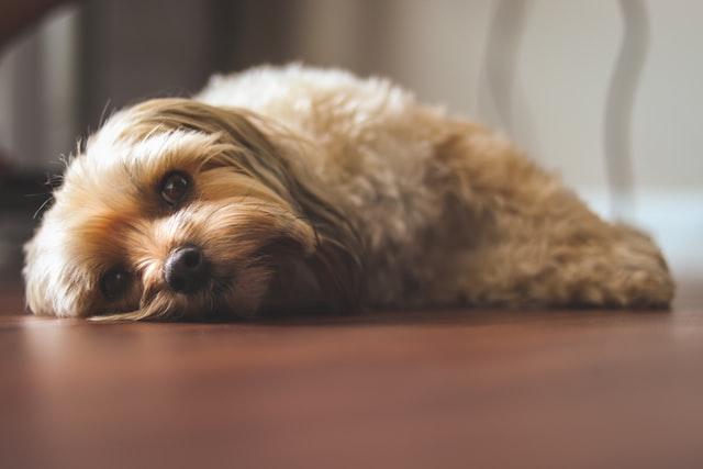 犬がメチルフェニデートを食べてしまった時に起こる病態