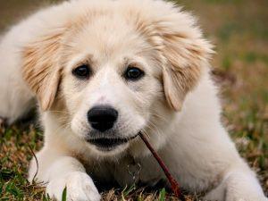 犬がキシリトール中毒を起こした時の治療