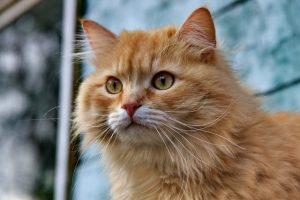 猫がアセトアミノフェンを食べてしまった時の中毒の症状